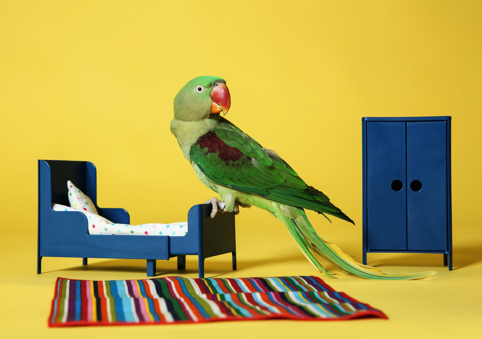 Beautiful Alexandrine Parakeet in toy bedroom on yellow background