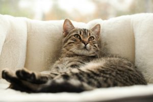Cute tabby cat on pet bed at home, closeup